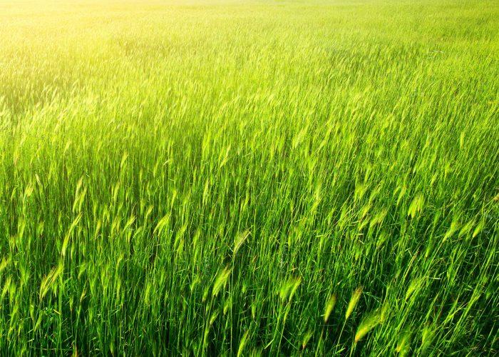 green-grass-V37Y9ZE